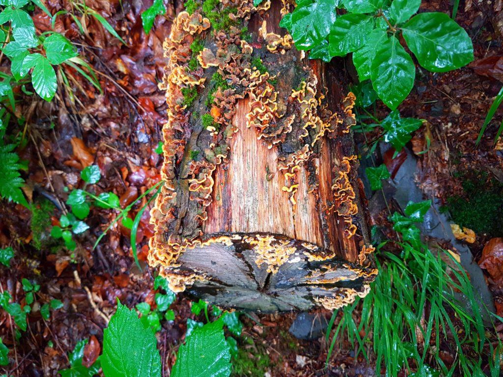 Pilze wachsen auf einem Baumstamm im Thüringer Wald