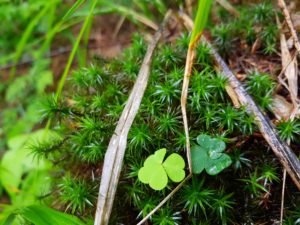 Kleeblätter und Grün auf einem Baumstamm im Wald