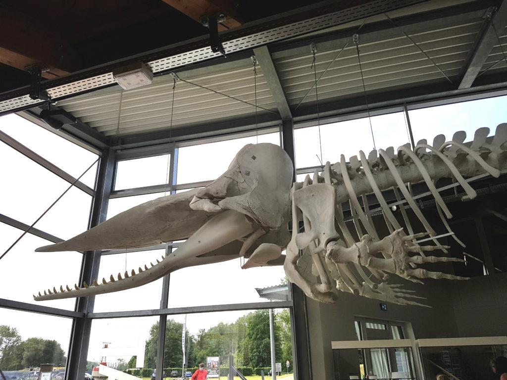 Pottwal Skelett im Natureum Niederelbe