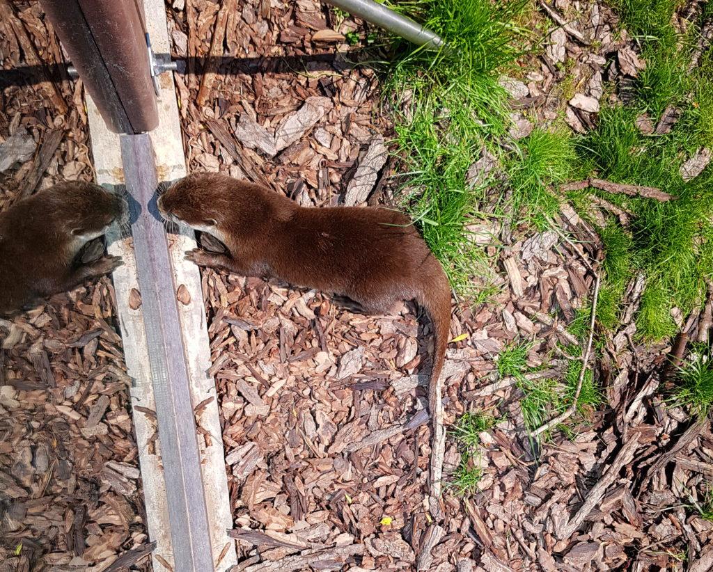 Otter im Küstenzoo spiegelt sich an der Scheibe