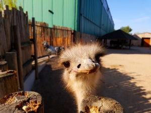 Vogel Strauß guckt über den den im Tierpark Memleben