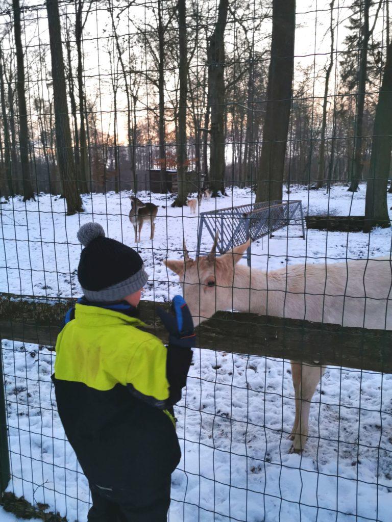 Kind steht vor einemkleinen Rehbock am Windgehege im Ziegelrodaer Forst in Herrmannseck