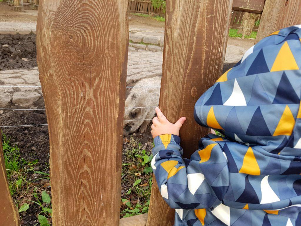 Kind schut sich durch den Holzzaun die Schweine im Südpark Merseburg an.
