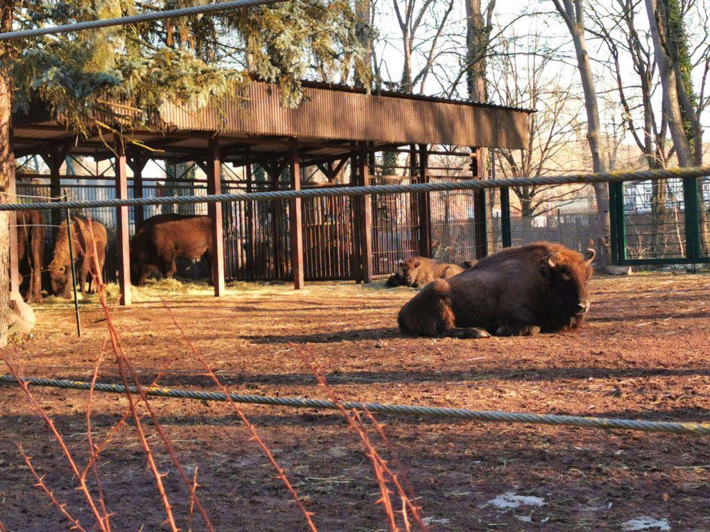 Wisent/Bison im großen Gehege im Tiergarten Bernburg