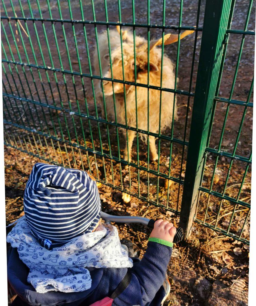 Junge sieht die Ziegen im Gehege an.