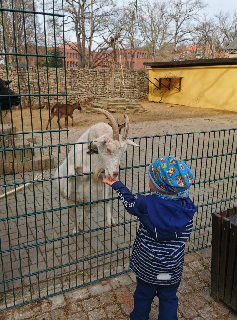 Junge am Ziegengehege